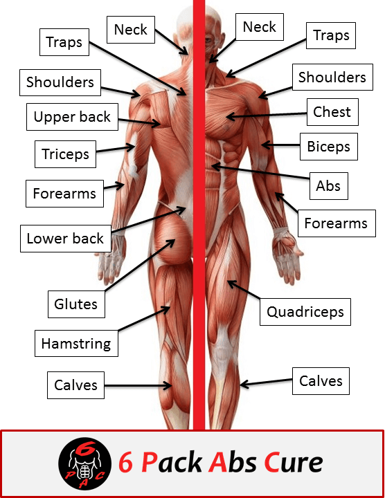 Human Muscle Anatomy Basics 6 Pack Abs Cure