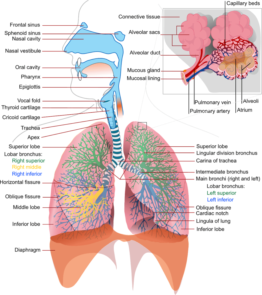Workout breathing - breath right - it starts by knowing yourself and your organs. Human lungs.
